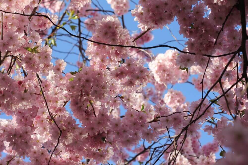 150421 – Körsbärsblom, pressvecka och Rodebjer